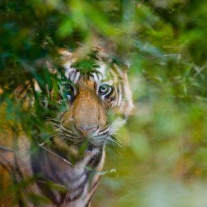 tiger-in-jungle-thorne-travel-kilwinning